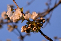 cerisier_1397