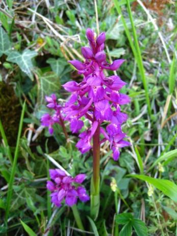 orchidée sauvage_1741