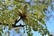 fleur de chêne_2086