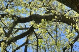 chêne de printemps_2091