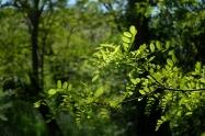 vert acacia_2094