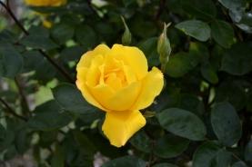 St Pé rose_2128