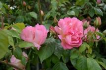 rose Céline_2133