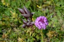 orchidées sauvages_2611