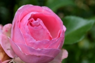 rose_2604