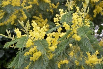 dernier mimosa_5572