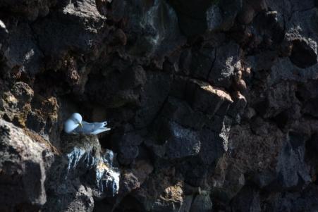 23juin15_falaise aux oiseaux de Svörtuloft_7971
