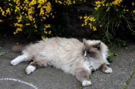 24juin15_les chats de Reykjavìk_8001