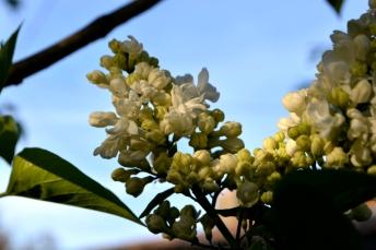 29avril16_lilas blanc