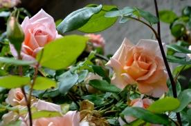 16mai_roses