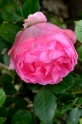 04juin16_05_rose tendre_11752