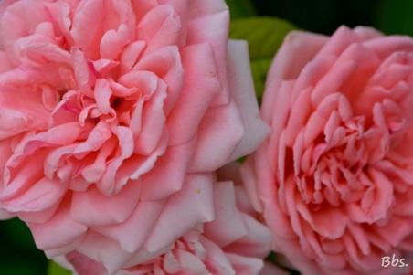 28juillet2016_rose1