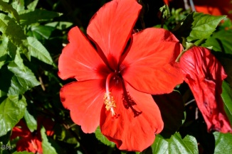 22sept16_hibiscus