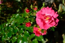 22sept16_roses