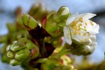 14mars17_cerisier 1
