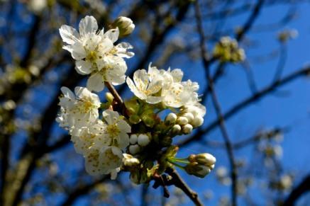 16mars17_cerisier