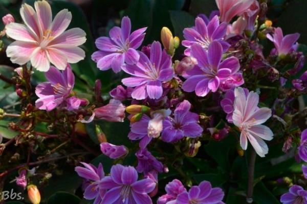 10avril17_17_fleurs des Alpes