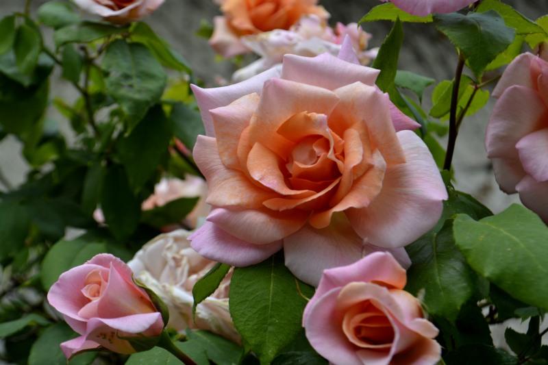 25avr17_01_vieux rosier