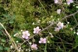 19_2jul17_mûrier et dentelle d'herbes