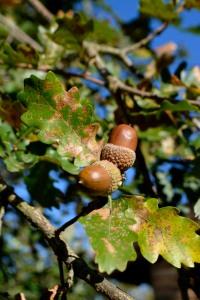 28octobre17_sur le chêne