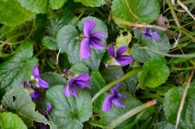 24fév18_violettes sauvages