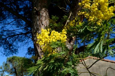 8mars18_12_mimosa