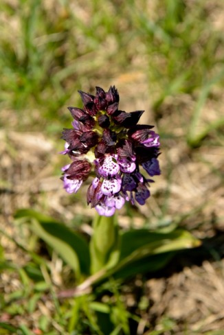 17avr18_13_orchis