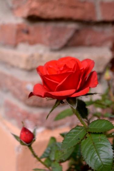 036_24mai_rose