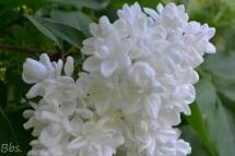 09_7mai18_lilas blanc
