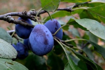 04_25août_prunes mauves