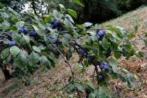 05_25août_prunes mauves