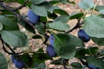 06_25août_prunes mauves