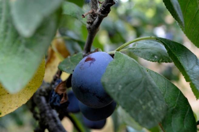 07_25août_prunes mauves