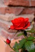 05-18_rose (1)